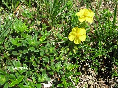 J-Vergne_Hellianthemum-numularium
