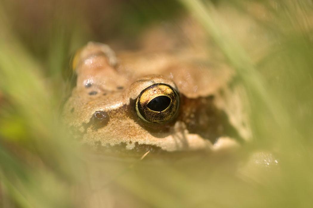 ED grenouille-rousse