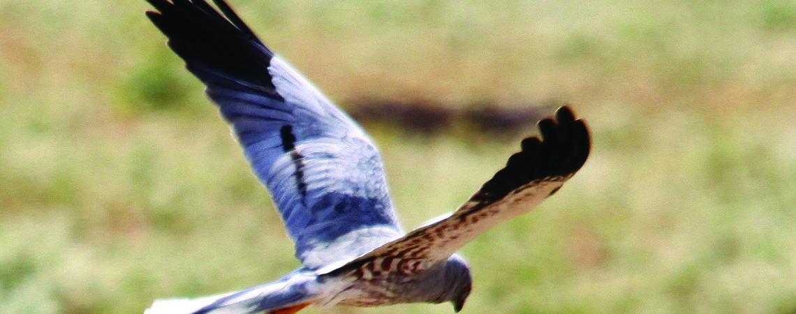 Participez au suivi et à la protection des busards nicheurs en cultures