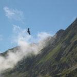 Photographie de vautour fauve, prise par Julien Vergne