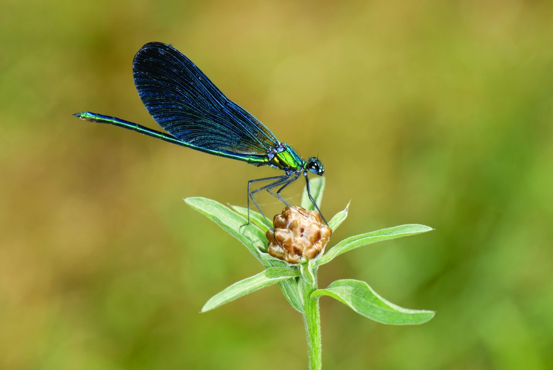 Calopteryx vierge méridional-Olivier Buisson