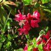 Rhododendron_Julien Vergne
