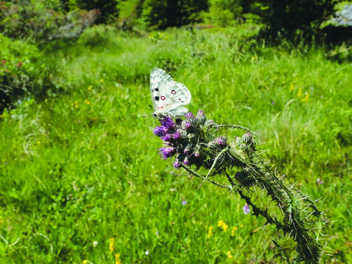 Papillon plante hôte_Xavier Pasquier
